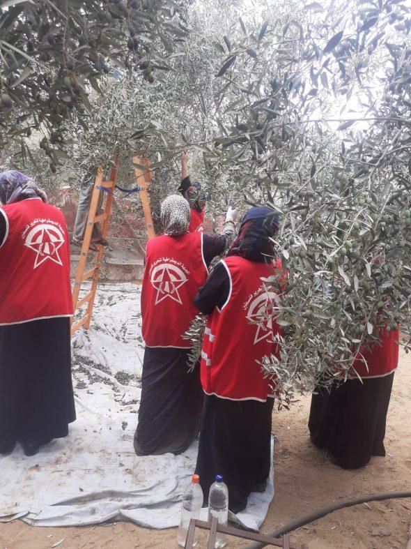 «العمل النسائي» يستكمل حملاته التطوعية لقطف ثمار الزيتون بخانيونس